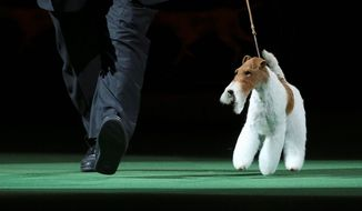 Sky, a wire fox terrier, enters the ring during the best in show competition at the Westminster Kennel Club Dog Show in New York on Tuesday. Sky won best in show. Breeders and canine enthusiasts will be watching to see if Sky's win boosts the breed's popularity. (ASSOCIATED PRESS)