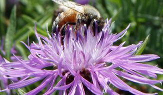 FILE - In this July 5, 2011 file photo, a bumblebee alights on the bloom of a thistle in Berlin, Vt. Increasingly sick domesticated honeybee populations are infecting the world's wild bumblebees, a new study in the journal Nature finds. It's a problem because wild bees, which are doing far worse than their managed cousins, handle a big chunk of pollination for food, such as coffee, tomatoes and blueberries. (AP Photo/Toby Talbot, File)