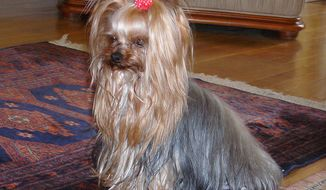 Yorkshire Terriers were bred in Yorkshire, England, to help catch rats and mice. (Wikipedia)
