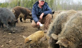 FILE - In this April 18, 2012, file photo Mark Baker feeds bread to exotic swine on his farm near McBain, Mich. Baker of Missaukee County defied an order designating Russian boars and similar breeds as invasive species that are off-limits in Michigan. The Department of Natural Resources said the ban was necessary because the hogs were escaping from farms and game ranches, breeding prolifically and damaging the environment.  Baker insisted his animals weren't causing problems. The DNR threatened to fine him $700,000. But last week, the department said he no longer had the offending breeds. Instead, all his pigs were hybrids that complied with the law.   (AP Photo/John Flesher, File)