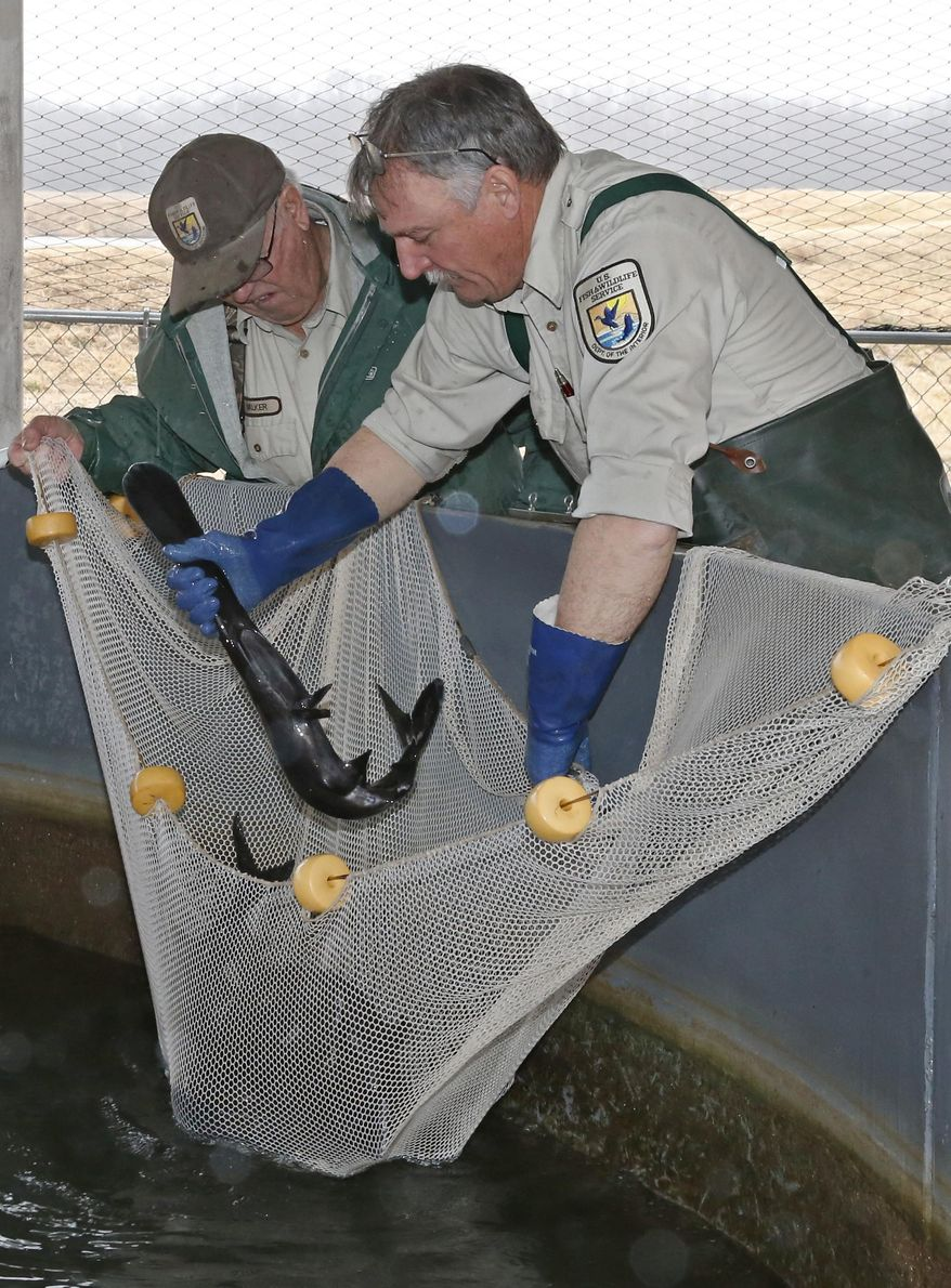 Wayne Walker, left, and Ralph Simmons, right, assistant hatchery manager, reach into a tank to extract a paddlefish at the Tishomingo National Fish Hatchery in Tishomingo, Okla., Wednesday, Feb. 19, 2014. (AP Photo/Sue Ogrocki)