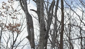 FOR RELEASE SUNDAY, MARCH 9, 2014, AT 12:01 A.M. EST.- About 29 dwarf hackberry trees are being discovered in the woods north of Howard Street between Stadium Drive and Oakland Drive. According to Steve Keto, manager of Western Michigan University's Natural Areas and Preserves, it is the first time in Kalamazoo county's history that this type of tree has been discovered. (AP Photo/Kalamazoo Gazette, Junfu Han)