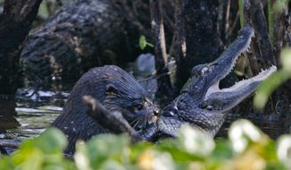 Amazing photos taken in 2011 by Geoff Walsh, and posted by the U.S. Fish and Wildlife Service on Tuesday, show an otter making a meal out of an alligator at Florida's Lake Woodruff National Wildlife Refuge. (Geoff Walsh)