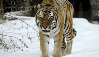 FILE - In this Dec. 19, 2013, file photo, Prince, a Siberian tiger, walks through the snow in his enclosure at ZooMontana in Billings. Mont. ZooMontana officials say Prince, the zoo's 18-year-old Siberian tiger, has died, likely due to complications from cancer.  (AP Photo/Billings Gazette, Casey Page, File) MANDATORY CREDIT; TV OUT