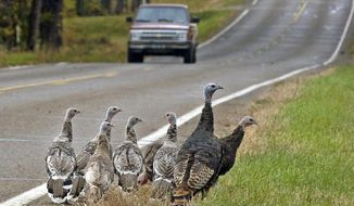 ** FILE ** In this Oct. 11, 2007, file photo, a family of wild turkeys search for food along a road in Bismarck, N.D. (AP Photo/TheBismarck Tribune, Tom Stromme, File)