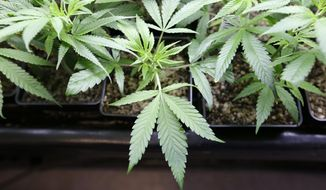 ** FILE ** In this file photo taken April 4, 2013, marijuana plant starts are seen at a growing facility in Seattle. (AP Photo/Elaine Thompson, File)