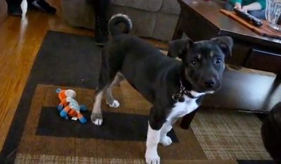 In this image taken from video and released by the Michigan Humane Society, a dog named Hunter is shown at his home in Grosse Pointe Woods, Mich., on March 10, 2014. Tim McLarty said the dog, which was adopted in February by the McLarty family from the Michigan Humane Society, alerted the family to an unlit stove burner that was sending natural gas into their suburban Detroit home.(AP Photo/Michigan Humane Society)