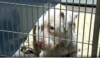 A pit bull that mauled a 4-year-old Phoenix boy has received a groundswell of support ahead of a court hearing to decide if it should be euthanized. (Save Mickey via Facebook)