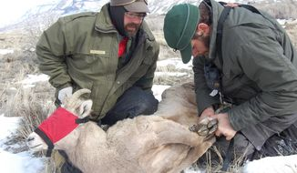 In this Feb. 20, 2014 photo, Luke Ellsbury, left, of the Wyoming Game & Fish Department large carnivore biologist and Cole Hansen, Game & Fish wildlife biologist, prepare a tranquilized bighorn ewe for transport to a waiting horse trailer, where she will be examined, near the North Fork of the Shoshone River west of Cody, Wyo. The Wyoming Game & Fish Department and others are endeavoring to ascertain why bighorn sheep in the Cody region are doing well despite pathogens that can cause disease. (AP Photo/The Powell Tribune, Gib Mathers)