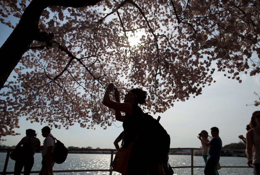 Sightseers take photos of the cherry blossoms trees in full bloom along the Tidal Basin. (Associated Press)