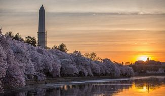 The Washington Monument lights up in the early morning sun, while cherry blossoms around the tidal basin bloom, in Washington, DC. (The Washington Times)