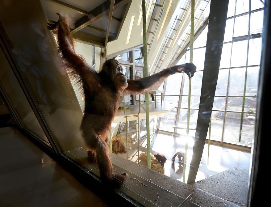 Rocky stands as the local media get a look at eight orangutans as they tour the International Orangutan Center at the Indianapolis Zoo, Thursday, March 20, 2014, in Indianapolis. The official opening of the center will be on Memorial Day weekend. (AP Photo/The Indianapolis Star, Matt Kryger)  NO SALES