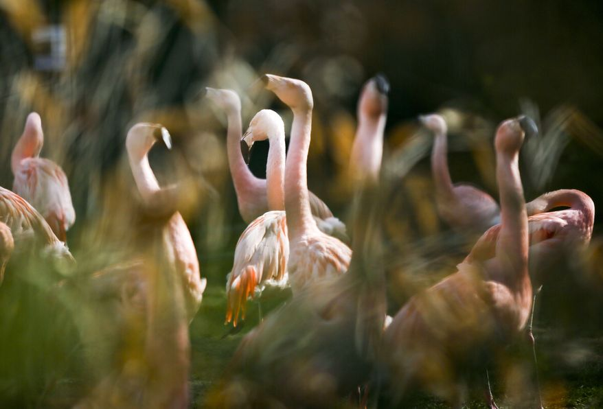 ** FILE ** In this April 12, 2012, file photo flamingos stand in their compound at the zoo in Frankfurt, central Germany. German police are hunting a killer responsible for the death of 15 flamingos at Frankfurt Zoo, some of which were beheaded as they slept. (AP Photo/dpa, Frank Rumpenhorst, File)
