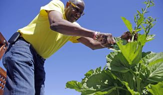 In this March 13, 2014 photo, Dusty Baker tends to greens in his garden at his home in Granite Bay, Calif. While his former players and fellow managers are busy preparing for opening day, Baker is busy tending to his crops, planning his next plantings and minding his vineyard and the several hybrid fruit trees that border it. Out of uniform for the first time since taking 2007 off between managerial jobs with the Cubs and Reds, Baker is not slowing down much from his pressure-packed days in the dugout. (AP Photo/Eric Risberg)