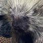 North American porcupine (Wikipedia)