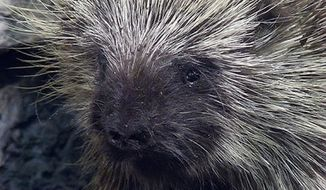 North American porcupine (Wikipedia)