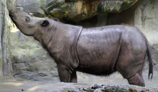 FILE - In this July 17, 2013 file photo, Suci, a female Sumatran rhino, sniffs the air in her enclosure at the Cincinnati Zoo in Cincinnati. The zoo said Suci died Sunday, March 30, 2014, after showing symptoms of a disease that killed her mother five years ago. (AP Photo/Al Behrman, File)