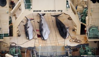 ** FILE ** In this file photo taken on Sunday, Jan. 5, 2014, and supplied by Sea Shepherd Australia on Monday, Jan. 6, 2014, three dead minke whales lie on the deck of the Japanese whaling vessel Nisshin Maru, in the Southern Ocean. (AP Photo/Tim Watters, Sea Shepherd Australia)
