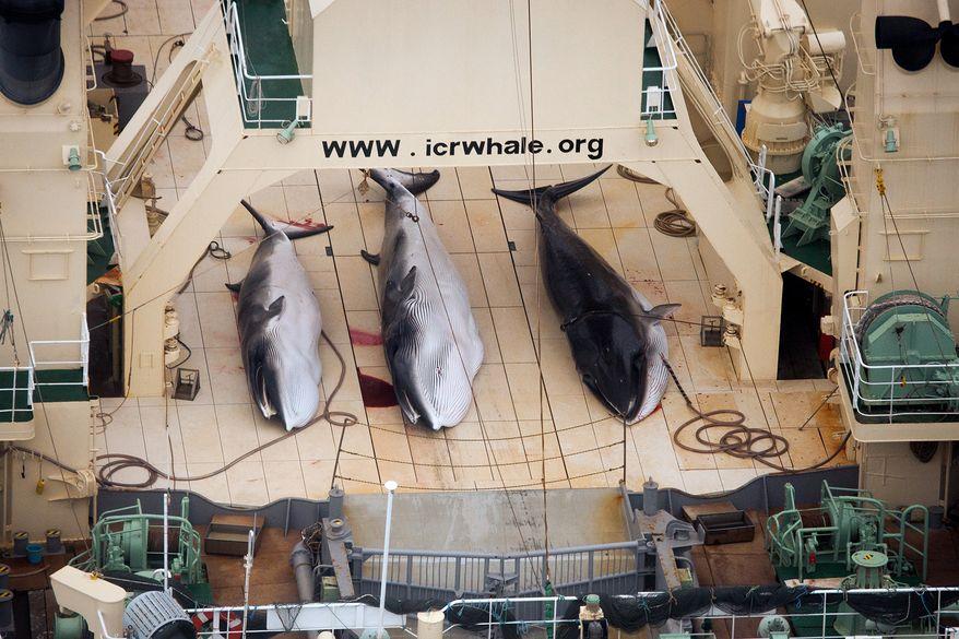 ** FILE ** In this file photo taken on Sunday, Jan. 5, 2014, and supplied by Sea Shepherd Australia on Monday, Jan. 6, 2014, three dead minke whales lie on the deck of the Japanese whaling vessel Nisshin Maru, in the Southern Ocean. (AP Photo/Tim Watters, Sea Shepherd Australia)