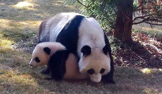 This photo provided by the Smithsonian National Zoo shows Giant panda cub Bao Bao outside with her mom Mei Xiang for the first time April 1, 2014, at the zoo in Washington. The zoo says Bao Bao tried out her climbing skills on one of the smaller trees and sat on the grass with a piece of bamboo. (AP Photo/Smithsonian National Zoo)