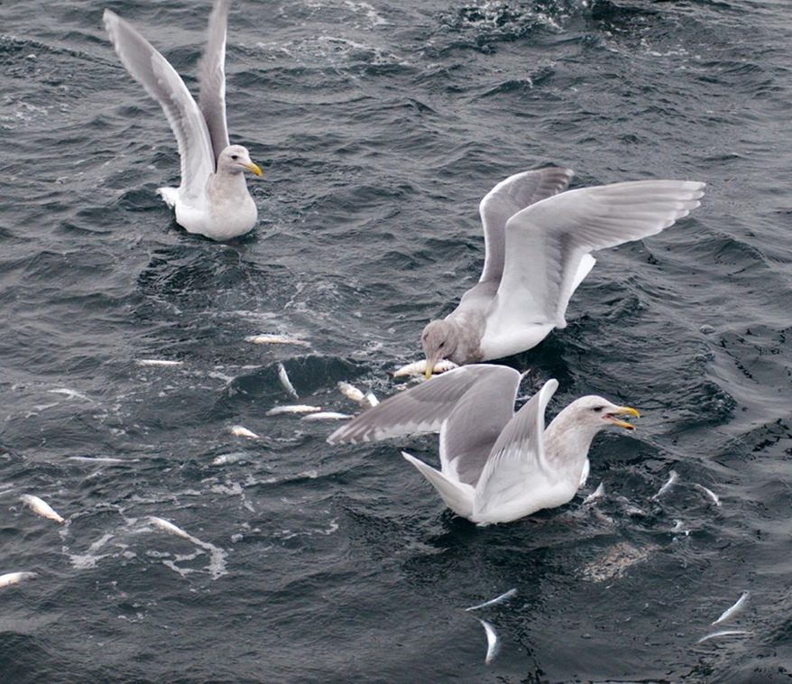 This March 21, 2012 photo provided by NOAA Fisheries (The National Oceanic and Atmospheric Administration ) shows Gulls feeding on hundreds of stunned herring brought to the surface by a humpback whale in Southeast, Alaska. There's an abundant number of Southeast Alaska Pacific herring, and the species doesn't warrant a listing under the Endangered Species Act, announced by NOAA on Wednesday, April 2, 2014. (AP Photo/NOAA Fisheries)
