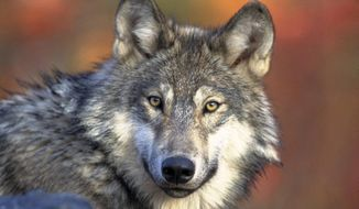 This April 18, 2008, file photo provided by the U.S. Fish and Wildlife Service shows a gray wolf. (AP Photo/U.S. Fish and Wildlife Service, Gary Kramer, File)