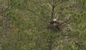 In this photo taken from video on March 27, 2014, two adult bald eagles stand guard over their two young chicks near Lake Oconee in east Ga. Georgia Department of Natural Resources was conducting the second round of their annual eagle nest survey to determine population growth. (AP Photo/Johnny Clark)