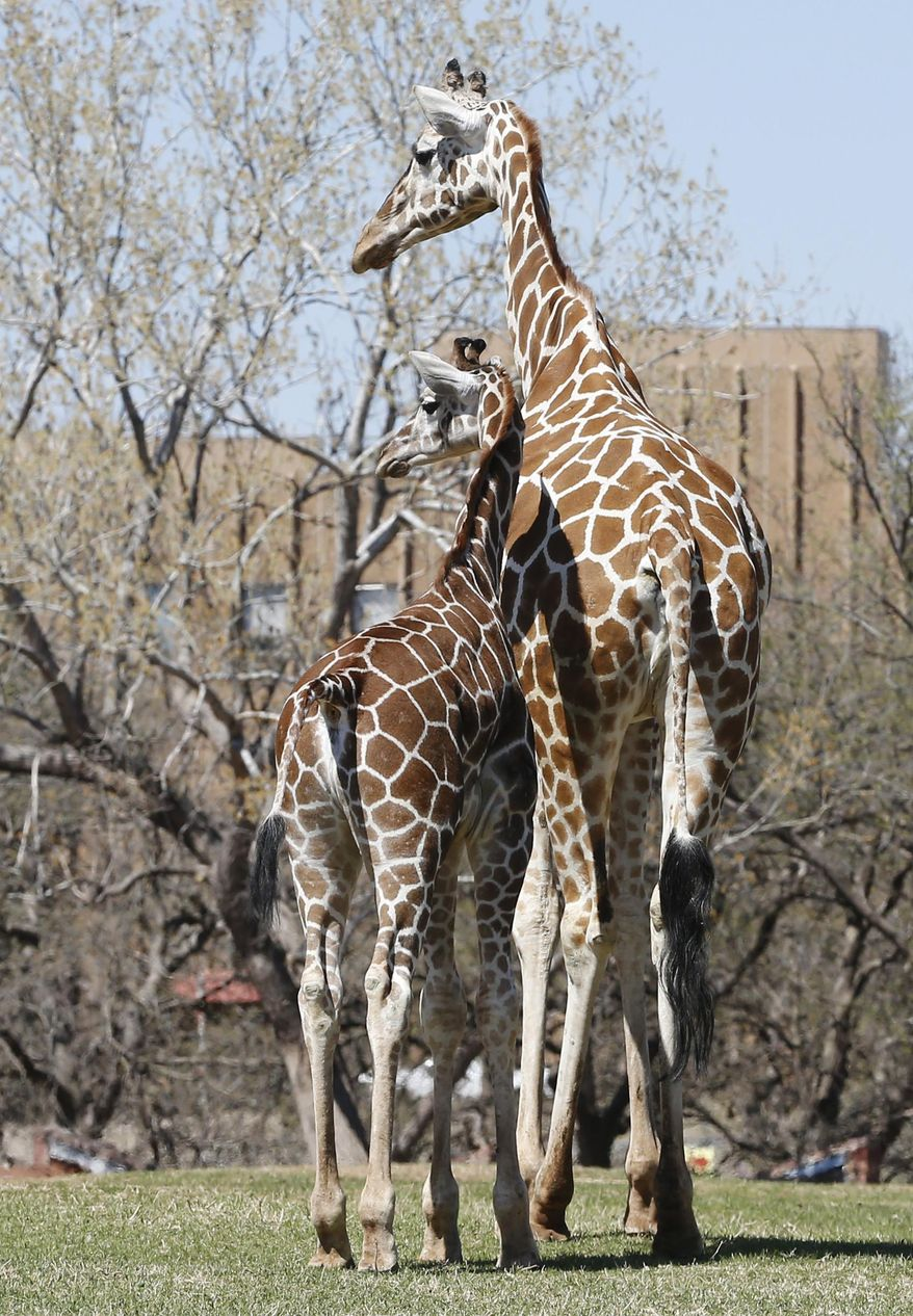 Six-month-old Kyah, a giraffe at the Oklahoma City Zoo, stands next to her mother, Ellie, at the zoo in Oklahoma City, Friday, April 4, 2014. Kyah will undergo surgery at Oklahoma State University to repair a vessel in her heart that has wrapped around her esophagus, making it difficult for her to eat solid foods, at a time when her mother is trying to wean her. (AP Photo/Sue Ogrocki)