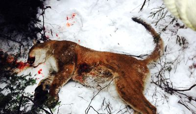 In this Dec. 9, 2013 photo released by the Michigan Department of Natural Resources, an illegally killed cougar is shown in Schoolcraft County, Mich. Todd A. Richard, 44, of Burt, Mich., has accepted a plea deal in an Upper Peninsula cougar poaching case and been sentenced to community service and fines. The Michigan Department of Natural Resources says Todd Richard pleaded no contest in Manistique, Mich., District Court on Monday, April 7, 2014 to taking or possessing an endangered animal.  (AP Photo/Michigan Department of Natural Resources)
