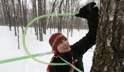 In this photo made Friday, March 21, 2014, Leah Moffitt connects tubing to a tap on a maple tree on Passamaquoody land near Jackman, Maine. A tribal movement nationwide hopes to get Indians beyond government contracts and casinos in self-sustaining operations that can create spinoff jobs. (AP Photo/Robert F. Bukaty)