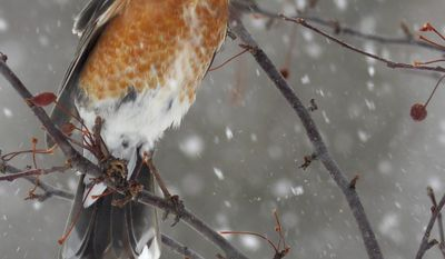 A robin stretches to gobble the last of the previous year's crop of crabapples from a flowering crab tree as the predicted spring snowstorm falls Wednesday, April 16, 2014 in Sauk Rapids, Minn.. Central Minnesota expected 5 to 8 inches of new snow Wednesday. (AP Photo/St. Cloud Times, Kimm Anderson) NO SALES