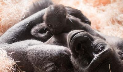 In this photo taken March 26, 2014 at the Milwaukee County Zoo, Kassiu is held by her mother Naku Milwaukee. The baby gorilla born less than a month ago has unexpectedly died, the zoo said Thursday, April 17, 2014. The western lowland gorilla, named Kassiu, was born March 19 to 13-year-old mother Naku and 27-year-old father Cassius. Zookeepers reported the baby and mother appeared normal Wednesday morning. But by the afternoon, Kassiu appeared weak and stopped holding onto her mother, as newborn gorillas do, the zoo said in a statement. (AP Photo/Milwaukee County Zoo, Scott Engel)