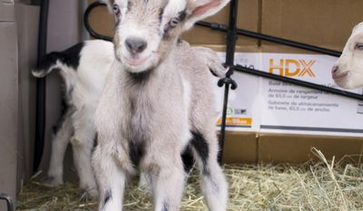 In this photo taken Thursday April 10, 2014, a baby goat is delivered to the Vermont Goat Collaborative in Colchester, Vt. The male goat will be raised on a rural farm to feed refugees and immigrants. (AP Photo/Holly Ramer)