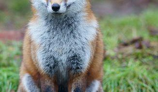 **FILE** European red fox (wikipedia.org)