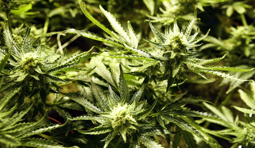 In this Dec. 5, 2013, photo marijuana matures in ideal conditions at the Medicine Man dispensary and grow operation in northeast Denver. (AP Photo/Ed Andrieski, file)