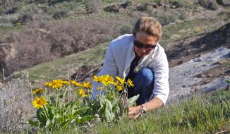 Ann DeBolt, a botanist at the Idaho Botanical Garden, checks out a healthy arrowleaf balsamroot at the garden in Boise, Idaho, April 8, 2014.  Arrowleaf balsamroot has been blooming over the last week in parts of the Boise Foothills and all across Southwest Idaho and Southeast Oregon. (AP Photo/Idaho Statesman, Pete Zimowsky)