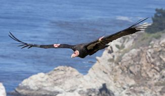 FILE - This July 21, 2012, file photo, provided by the Ventana Wildlife Society shows a condor in flight in Big Sur, Calif. The Yurok Tribe has signed agreements leading to the first release of captive-bred condors into the northern half of their historic range _ the sparsely populated Redwood Coast of Northern California. The tribe based at the mouth of the Klamath River has been working the past five years under a federal grant to establish whether the rare birds can survive in a place they have not lived for a century. (AP Photo/Ventana Wildlife Society, Tim Huntington, File)