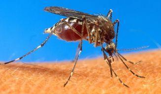 A mosquito on human skin. (AP Photo/USDA, File)