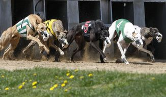 In this photo taken on Saturday, April 26, 2014, greyhounds exit the gate during the opening day of the 2014 greyhound racing season at the Mystique Casino in Dubuque, Iowa. Some greyhound breeders are unhappy with legislation intended to help the industry scale back as dog racing is significantly reduced in Iowa. A measure is awaiting Gov. Terry Branstad's signature.  (AP Photo/The Telegraph Herald, Mike Burley) MAGS OUT, TV OUT