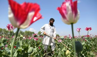An Afghan farmer works on a poppy field in the Khogyani district of Jalalabad, east of Kabul. Last May's harvest produced a staggering 6,000 tons of opium, 49 percent higher than the previous year and more than the combined output of the rest of the world, according to a report issued Wednesday. (Associated Press)