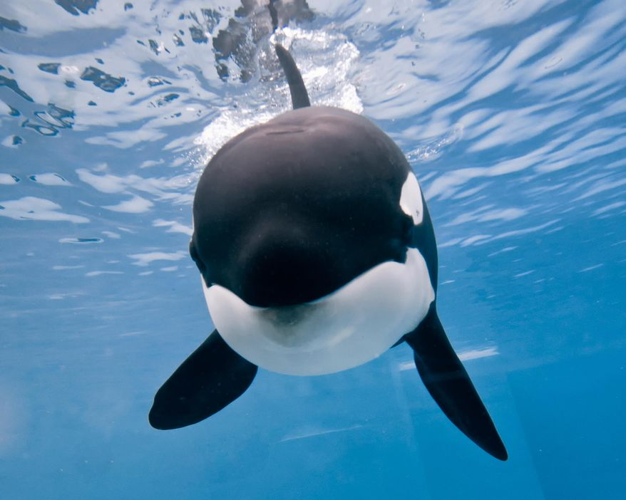 This Tuesday, April 29, 2014, photo provided by SeaWorld San Diego,  a 9-year-old orca named Kalia swims at the SeaWorld San Diego park in San Diego, Calif. (AP Photo/SeaWorld San Diego)