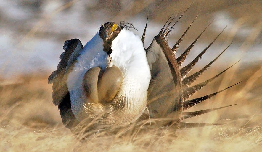 "FILE --This April 15, 2008 file photo shows a male sage grouse performing  his ""strut"" near Rawlins, Wyo. The federal government paid $236 million to landowners in 11 states to preserve sage grouse habitat amid a debate over whether the bird should be listed as an endangered species, potentially hindering energy development and ranching. The Casper Star-Tribune reported Wednesday, April 30, 2014, that the money was paid for conservation efforts on nearly 6,000 square miles, mostly in the West, over a four-year period. (AP Photo/Rawlins Daily Times, Jerret Raffety, File)"