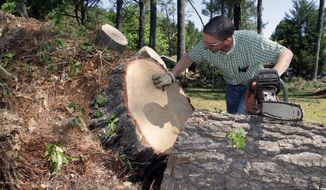 Volunteer, Mark Weaver counts the rings on a 47 year-old pine tree on Thursday, May 1, 2014 in Winston County, Miss.  The tree were downed by a tornado on Monday. The National Weather Service has rated the tornado an EF-4. (AP Photo/Jim Lytle)