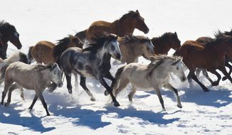 This Feb. 14, 2013 photo shows wild horses from Utah's Swasey herd are rounded up by Cattoor Livestock Roundup Co in the West Desert near the Swasey Mountains in Utah.  State wildlife officials are supporting Utah ranchers and county leaders who are threatening to break federal law and round up wild horses this summer if federal officials don't do it first. The ranchers say a swelling feral horse population is edging cattle and elk out of drought-plagued southern and central Utah pastures. Utah Wildlife Board members, at a meeting in Salt Lake City on Thursday, May 1, 2014, voted unanimously to send a letter to Interior Secretary Sally Jewell and U.S. Bureau of Land Management state director Juan Palma urging a reduction in the number of horses on the range.  (AP Photo/The Salt Lake Tribune, Chris Detrick)  DESERET NEWS OUT; LOCAL TV OUT; MAGS OUT