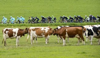 The pack of cyclists ride in behind cows during the 4th stage, a 173,1 km race from Fribourg to Fribourg, at the 68th Tour de Romandie UCI ProTour cycling race in Posieux, Switzerland, Saturday, May 3, 2014. (AP Photo/Keystone, Jean-Christophe Bott)