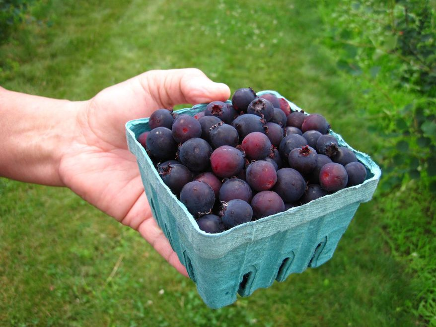 In this June 26, 2013 photo provided by the Cornell Cooperative Extension, a fruit picker holds a quart basket of Juneberries at G&S Orchards in Walworth, N.Y. Horticultural researchers are encouraging Northeast farmers to grow Juneberries as an alternative crop. (AP Photo/Cornell Cooperative Extension, Jim Ochterski)