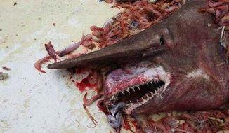 A goblin shark lies on the deck of the Sea Angles shrimp boat on April 19. (Carl Moore via Florida Keys Keynoter)
