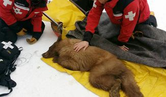 In this photo provided by Heavenly Mountain Resort, a  bear cub is seen receiving care on Monday, March 3, 2014, at the Heavenly Mountain Ski Resort at Lake Tahoe, Calif. The bear cub apparently became too accustomed to people and is headed for an animal sanctuary or zoo after wildlife officials decided he's  become too domesticated to be returned to the wild.    (AP Photo/Heavenly Mountain Resort)