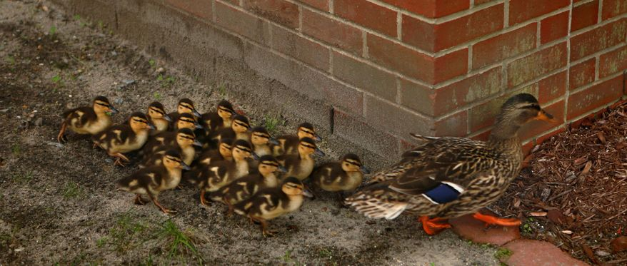 ADVANCE FOR SATURDAY MAY 1O AND THEREAFTER - In a May 1, 2014 photo, a mother mallard duck and her 17 ducklings walk around a corner at Treakle Elementary School in Chesapeake, Va.  (AP Photo/The Virginian-Pilot, Vicki Cronis-Nohe)