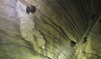 ** FILE ** In this Thursday May 8, 2014, photo, bats hang from the ceiling of the Aeolus cave in Dorset, Vt. (AP Photo/Wilson Ring)